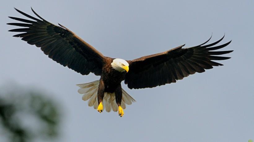 Image source: https://www.mass.gov/news/species-spotlight-bald-eagles