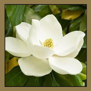 Magnolias On Main logo