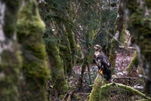 "Picture for article ""Fraser Valley Wildlife"""