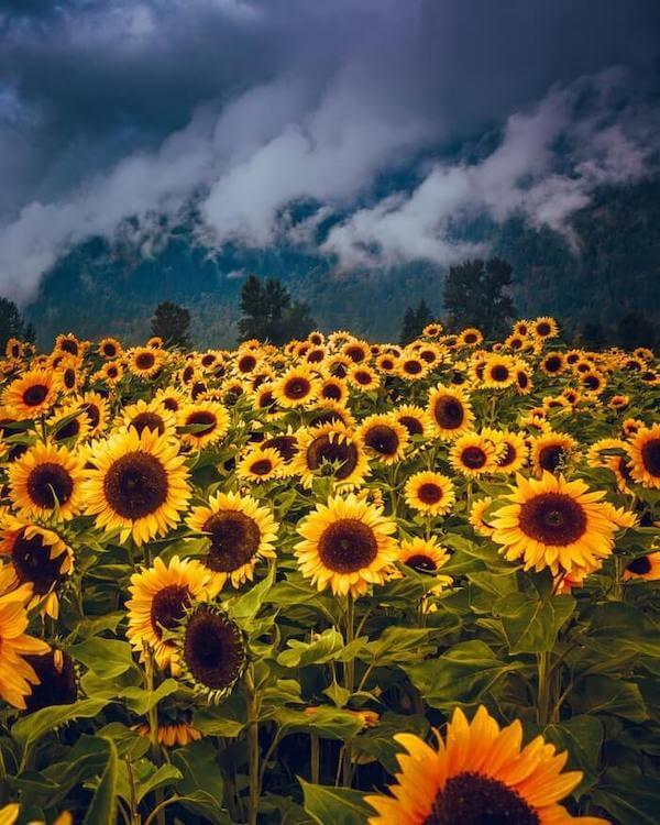 Sunflowers near Chilliwack, BC