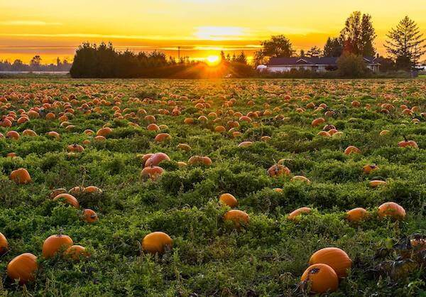 Pumpkins near Maple Ridge